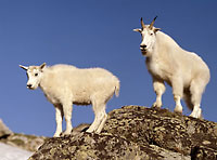 rocky mountain goats nature photography limited edition photographs by David Whitten