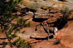 Desert Bighorn Sheep Ram, Zion National Park photos, Utah